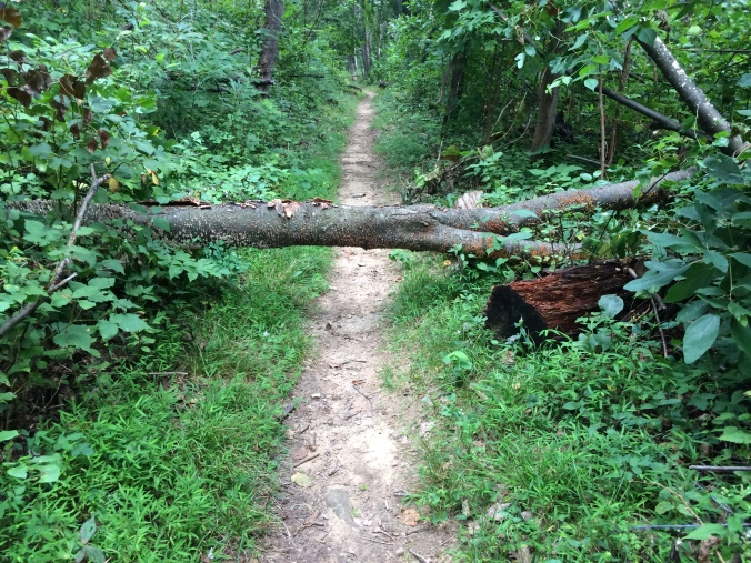 I found this blowdown on my trail section.
