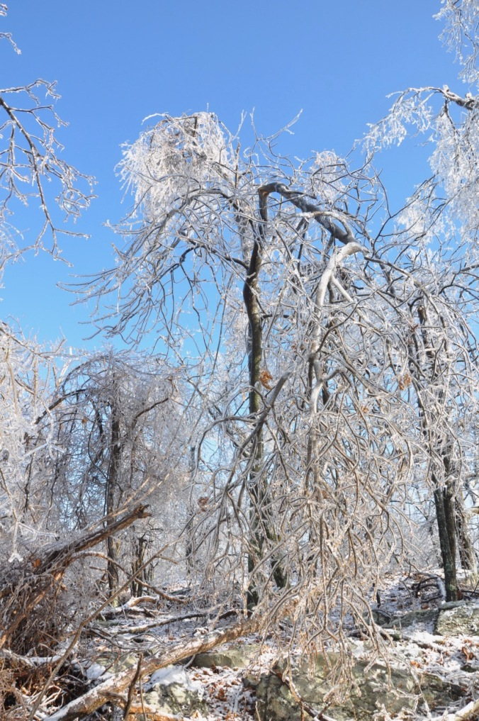Tree bent by ice storm